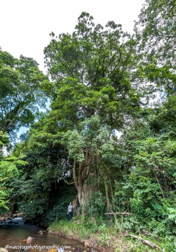 The largest Matumi trees in South Africa - South African Champion Tree list,