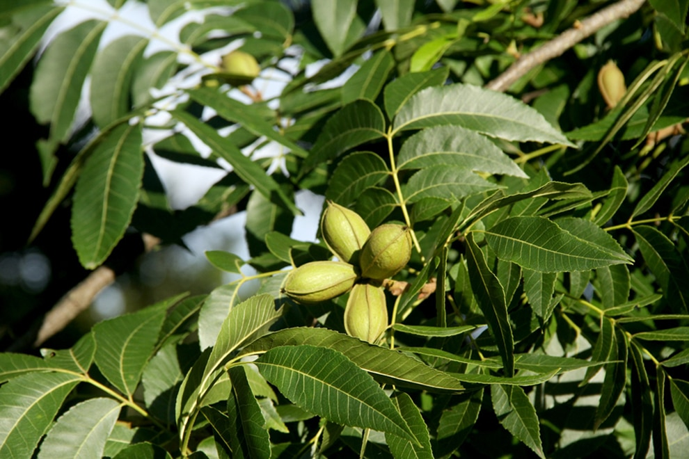 Amorentia Estate, Macadamia Nut