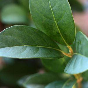 Macadamia Tree Nursery.