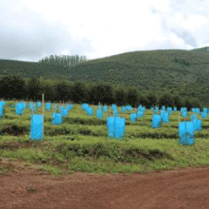 Avo Seedlings