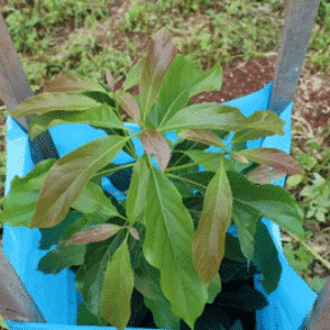 Amorentia Avo Seedlings