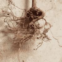 Roots, Plant, Amorentia