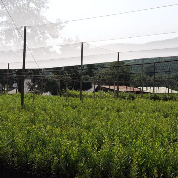 Macadamia Tree Nursery