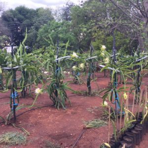 Planted Orchard, Amorentia