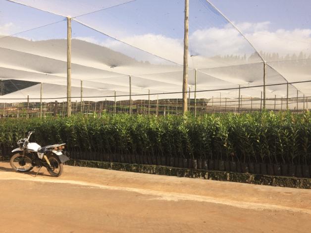 Macadamia Trees, Amorentia