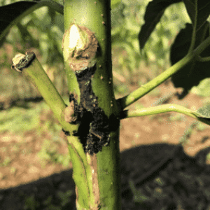 Avocado Seedling Grafted March 2017