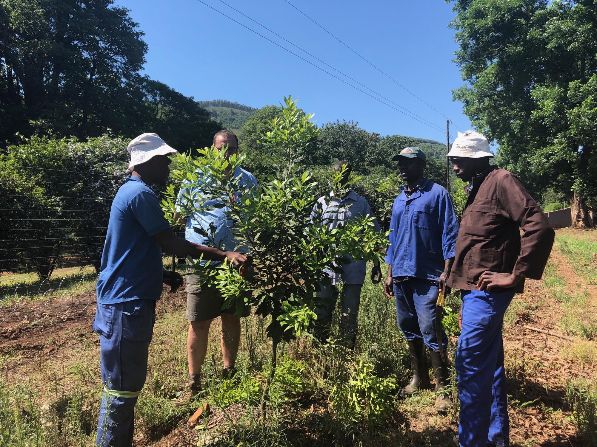 Macadamia tree pruning, Amorentia