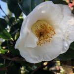 Camellia Japonica White, Amorentia