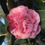 Camellia Japonica, Amorentia, light pink
