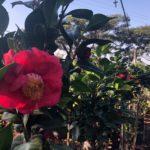 Camellia Japonica, Amorentia, pink bloom
