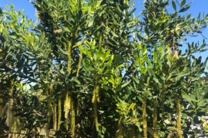 Macadamia tree. macadamia nuts