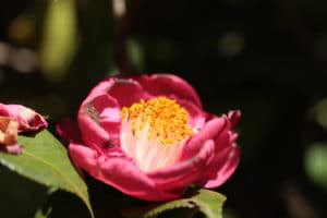 Buy Camellia japonica