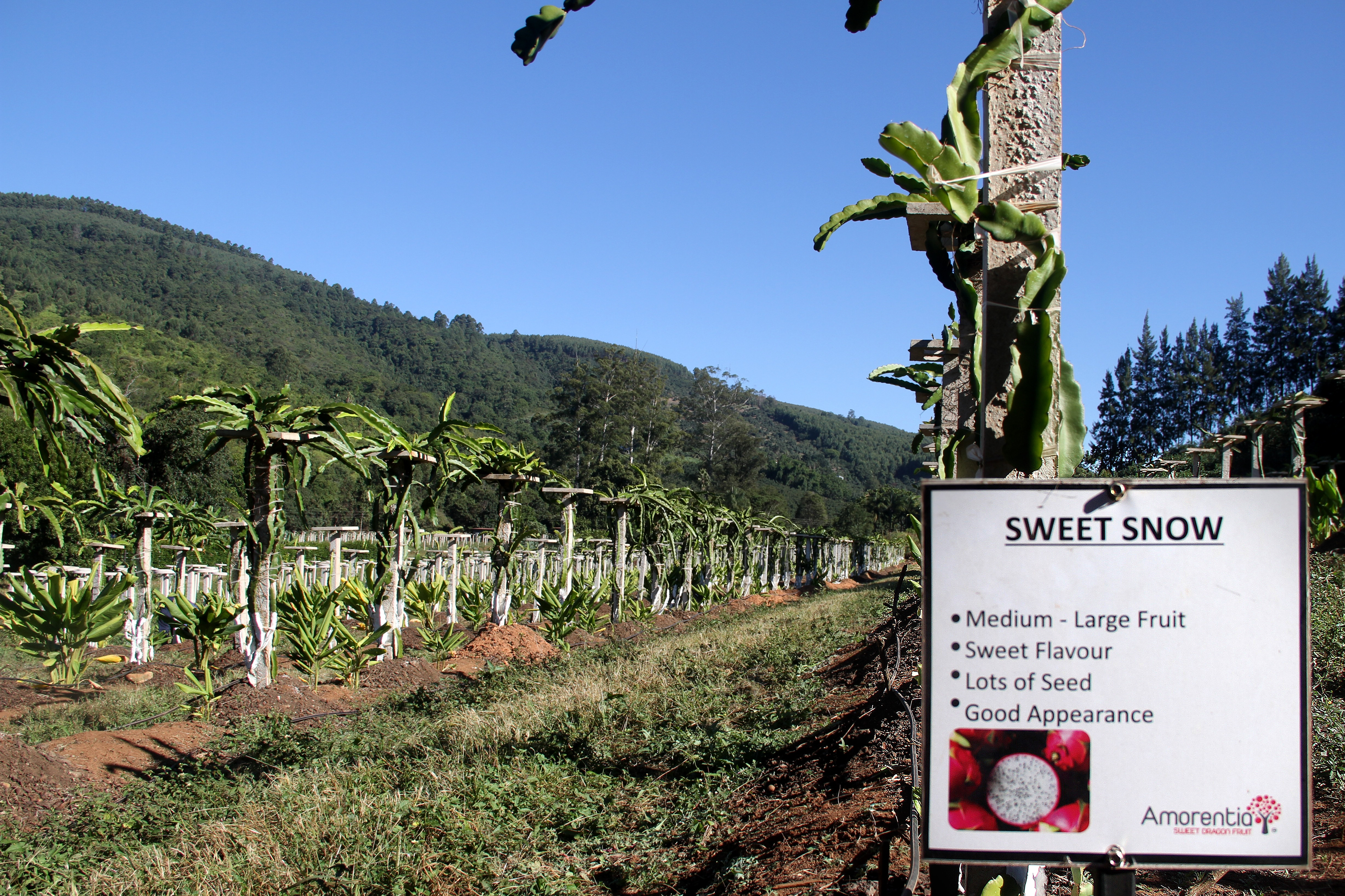 Sweet Pitaya Fruit Orchard