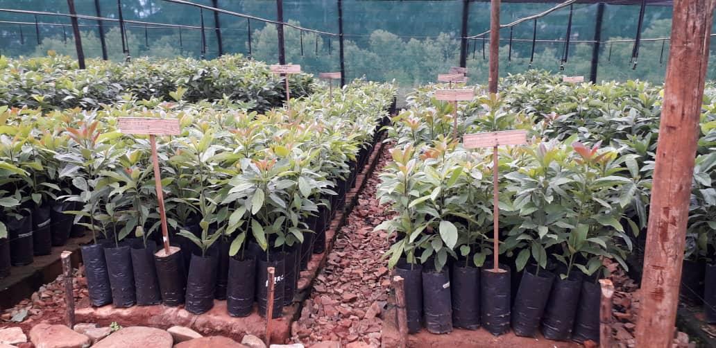 Zimbabwe Avocado