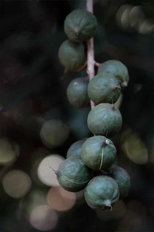 Amorentia Estate, Nuts