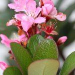 Flower pink, Amorentia