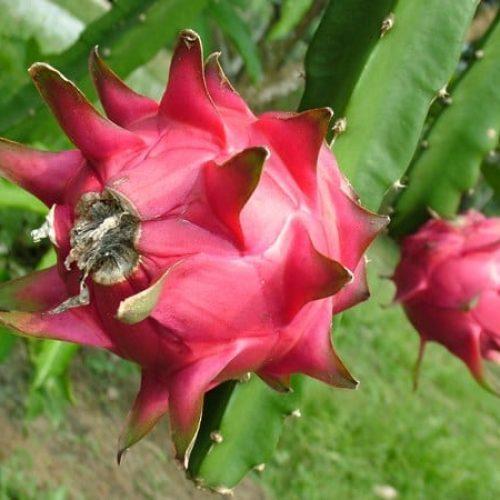 Sweet Dragon Fruit